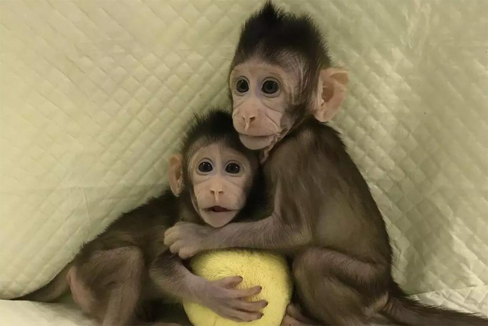 ВКитайской народной республике родились первые обезьянки, клонированные по«методу овцы Долли»
